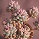 묵은베이비핑거|Pachyphytum Machucae (baby finger)