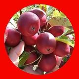 알프스오토매 미니사과 결실주♥왜성사과♥화분에서 키우는 과일나무♥애기사과 알프스 왜성|