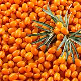 주황빛 에너지 비타민나무 대품♥농축된 비타민의 보고♥화분째 배송♥비타민 새싹|