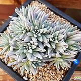 화이트그리니16두 자연군생_51 Dudleya White gnoma(White greenii / White sprite)