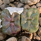ConoangelicaessptetragonumKlipbok进口种子7립|