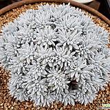 화이트그리니 대품(묵은목대)_25 Dudleya White gnoma(White greenii / White sprite)