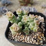 희성금 변종 Crassula Rupestris variegata