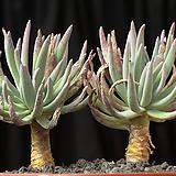 두들레야 에둘리스(분지포함8두) 3514|Dudleya edulis