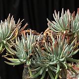 두들레야 에둘리스(분지포함 15두) 3516|Dudleya edulis