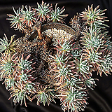 두들레야 에둘리스(분지포함 53두) 3518|Dudleya edulis