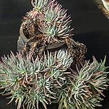 두들레야 에둘리스(분지포함 41두) 3519|Dudleya edulis