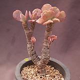 오래묵은원종기간티아|Greenovia diplocycla var.gigantea
