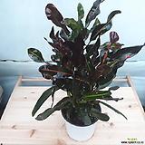 실크로톤|Codiaeum Variegatum Blume Var Hookerianum