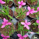 설난(짙한핑크색꽃이 피어나는 설난이에요 봄에만 구입할수 있는아이에요)|