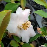 미니서양동백(♤흰색에 가까운연핑크에요  꽃망울이 가득해요 )|