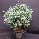 제주삼나무(사이즈약 가로45세로65)|