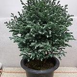 블루버드 제주삼나무|
