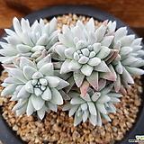 화이트그리니_11 Dudleya White gnoma(White greenii / White sprite)