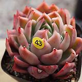 나나캔43|Echeveria nanacan(Red Witch)