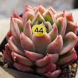 나나캔44|Echeveria nanacan(Red Witch)