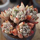 묵은목대원종자라고사60|Echeveria mexensis Zaragosa