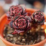 묵은목대원종롱기시마|Echeveria longissima