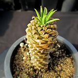 괴마옥 2-427|Euphorbia hypogaea