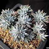 화이트그리니25두이상 2-428|Dudleya White gnoma(White greenii / White sprite)