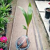 코코넛야자나무|