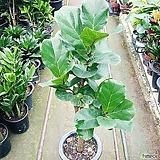 떡갈나무(중대품)|