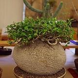 포케아银闪光种子5립(FromAfrica)|Dudleya edulis