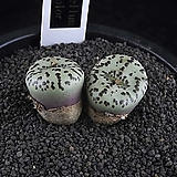 XP2374-Conophytum  obcordellum multicolor  멀티칼라2두|