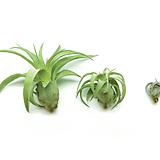 [어반플로라] 틸란드시아 스트렙토필라 공기정화식물/미세먼지제거식물/틸란시아/플랜테리어/식물인테리어추천|Tillandsia