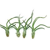 틸란드시아 볼보사 틸란시아/플랜테리어/공기정화식물/에어플랜트/행잉플랜트/미세먼지제거식물|Tillandsia