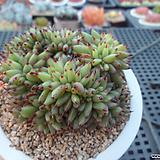 샤치철화2-1103|Echeveria agavoides f.cristata Echeveria