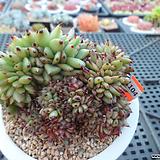 샤치철화2-1104|Echeveria agavoides f.cristata Echeveria