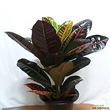 크로톤|Codiaeum Variegatum Blume Var Hookerianum