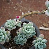 (2月)라울//50|Sedum Clavatum