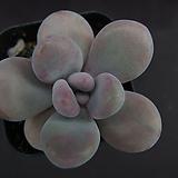 아메치스3|Graptopetalum amethystinum