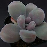 아메치스5|Graptopetalum amethystinum