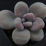 아메치스7|Graptopetalum amethystinum