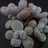 아메치스(군생)6|Graptopetalum amethystinum