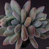 후레뉴(목대)2|Pachyphtum cv Frevel