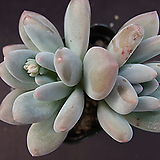 후레뉴(목대)6|Pachyphtum cv Frevel
