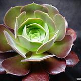 캐시미어바이올렛 Aeonium Velour