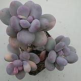 홍미인금 묵은 자연군생 Pachyphytum ovefeum cv. momobijin