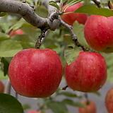 썸머프린스 사과나무 결실주♥왜성사과♥대과형 극조생신품종♥화분째 배송상품♥사과 여름사과 왜성|