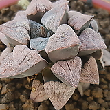 은하철도 피그마에아 화분포함|Haworthia pygmaea
