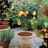 봄신상 스위트 메이어 레몬나무♥레몬 레몬트리|