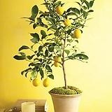 봄신상 레몬나무♥노란열매 열리는 오리지널 레몬트리♥진짜 레몬 레몬나무 시트러스|