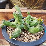 새도우글로블로사_12 Echeveria globulosa