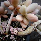 아메치스(자연) Graptopetalum amethystinum