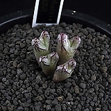 XP2398-Conophytum luckhoffii ARM1052  루코피 4두|