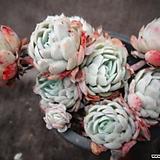 라즈베리아이스(신) Echeveria Rasberry Ice